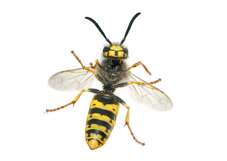 Wasp Control Bramhall 24/7, same day service, fixed price no extra!