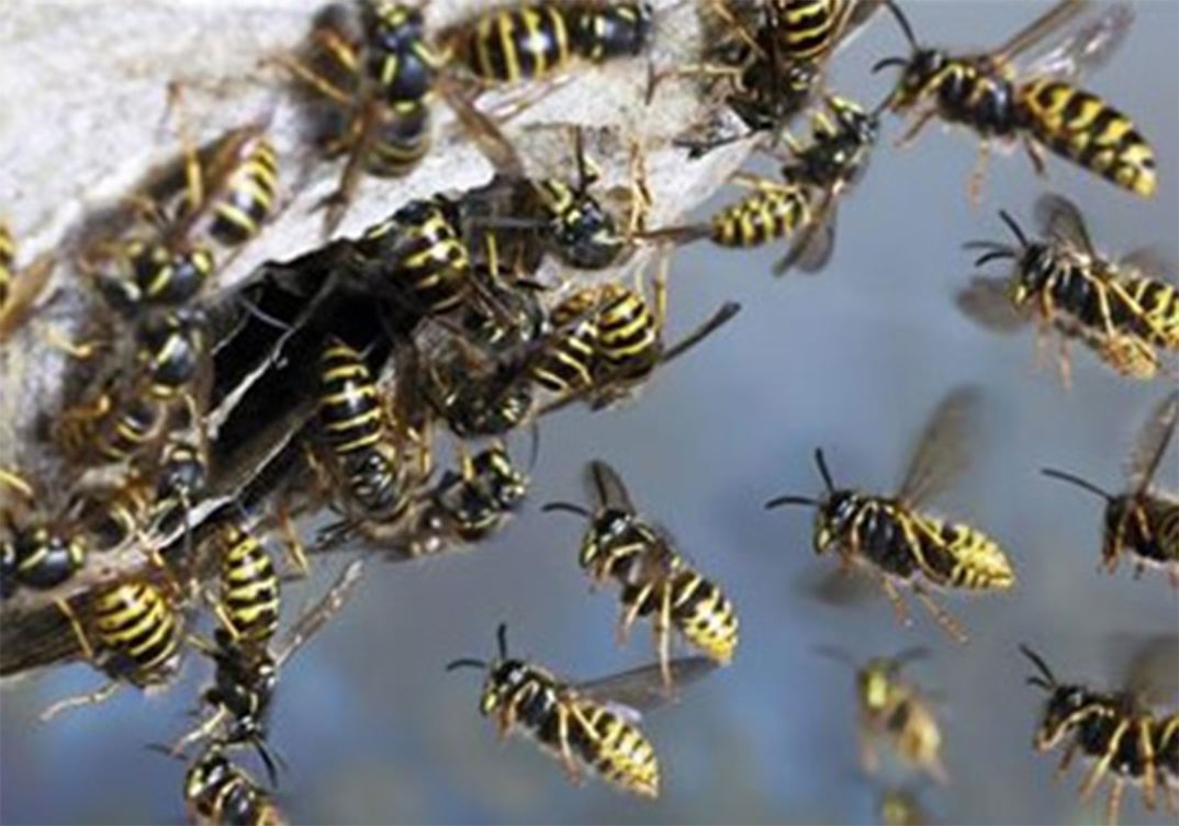 Wasp Control Salford 24/7, same day service, fixed price no extra!