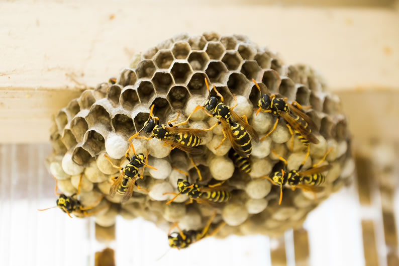 Wasp Control Salford - Wasp nest treatment 24/7, same day service, covering Salford, Stockport and cheshire, fixed price no hidden extras!
